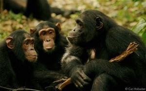 Chimpanzee language discovered, photograph courtesy of Catherine Hobaiter