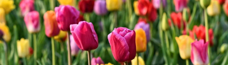 Tulips in Netherlands